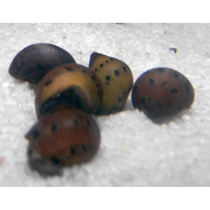Caracol Neritina sp (Red spotted) 1,5cm