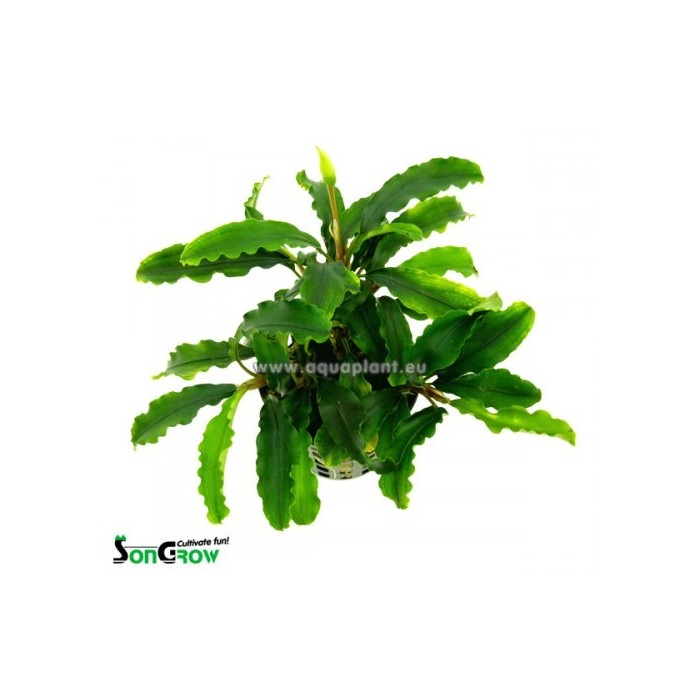 Bucephalandra species
