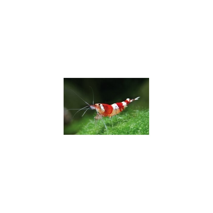 Crystal Red Shrimp S