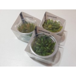 Pack 3x Cryptocoryne